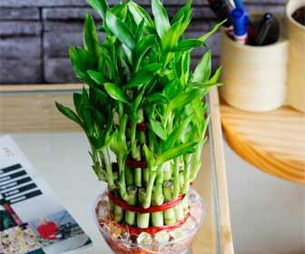 Feng Shui y el bambú de la suerte