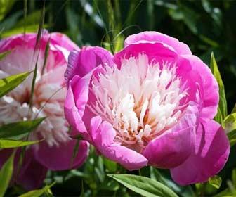 La flor de Peonía