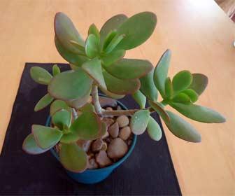 Planta de Jade - Árbol del Dinero