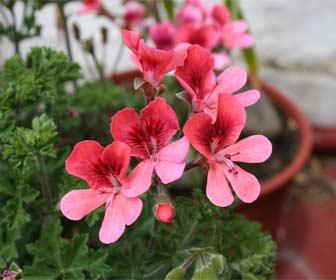 Pelargonium - Geranio