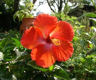Rosa china - Hibisco
