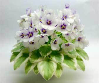 Saintpaulia - Violeta Africana